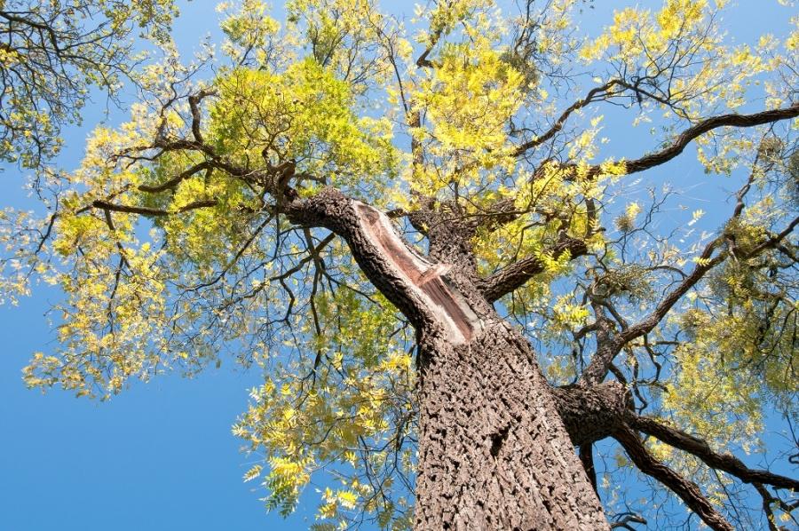 Cây gỗ óc chó phân bố ở nhiều nơi trên thế giới nhưng chất lượng nhất ở vùng bắc mỹ.